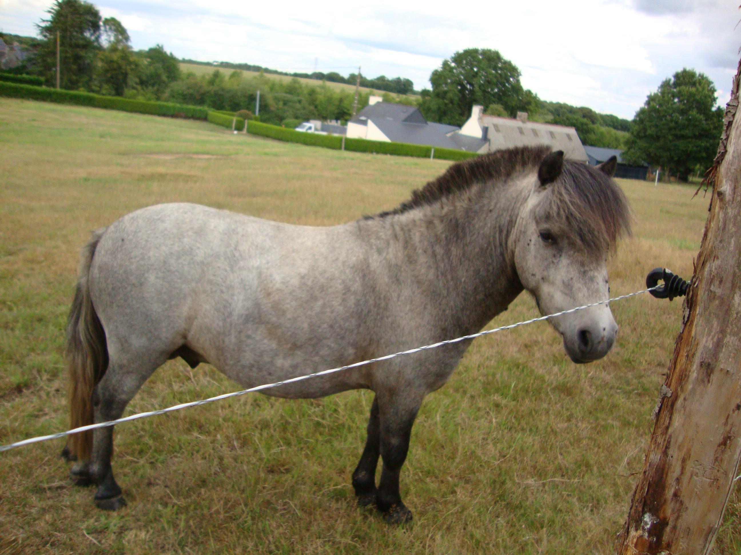 poney c gris